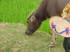 Vietnam water oxen 3